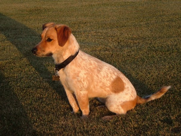 queensland_heeler_jack-russell_terrier_mix